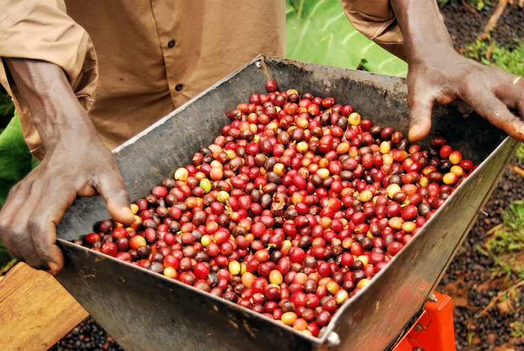 a farm worker holding coffee cherries in Uganda