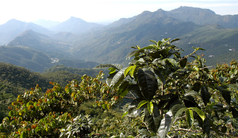 coffee plantation in guatemala (not my photo)